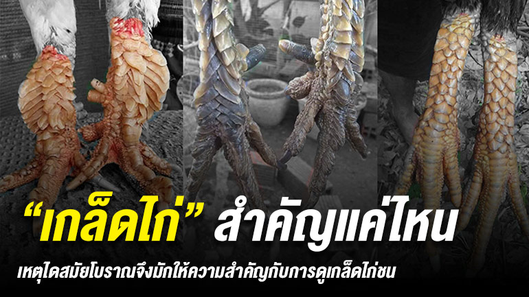 ผลการค้นหารูปภาพสำหรับ การดูเกล็ดแข้ง ไก่ชน