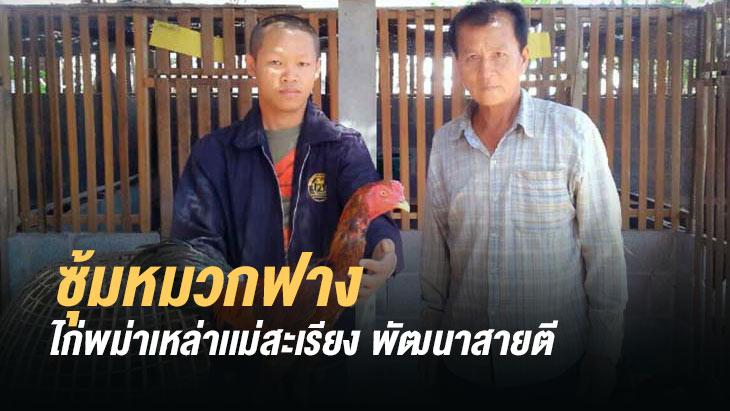 ซุ้มหมวกฟาง ไก่พม่าเหล่าเเม่สะเรียง พัฒนาสายตี