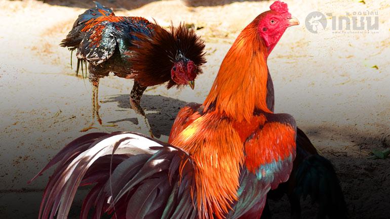 เมื่อไก่ชนไทยแท้ๆ ถูกลดบทบาท เส้นทางของไก่ชนกีฬาจึงถูกพัฒนาไม่รู้จบ