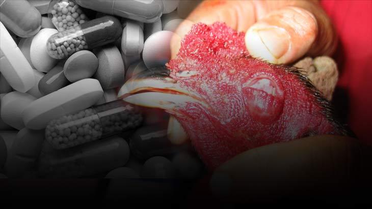 ไก่ชนคือผู้รับเคราะห์เพราะไม่มีสิทธ์เลือก อันตรายจากยาเถื่อน
