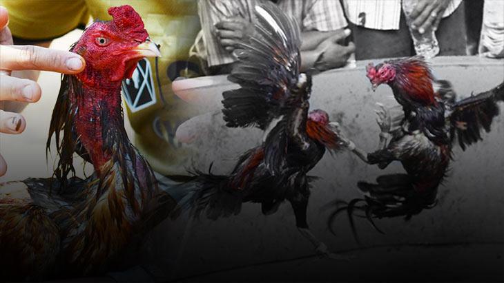 แผลตีอันตราย การคัดไก่หนุ่ม 7 เดือน เพื่อดูแผลตีของไก่ชน
