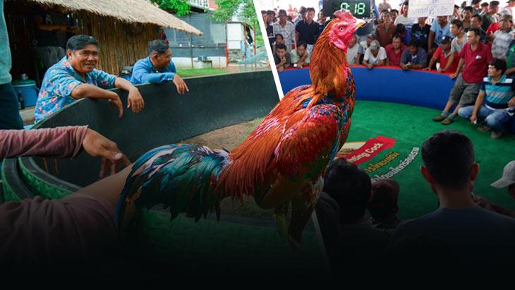เสียงสะท้อนจากเกษตรกรผู้เลี้ยงไก่ชน อยากได้สนามปล้ำไก่ที่ไม่มีการพนัน