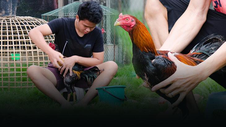 การเลี้ยงไก่ชนตีตอภาคเหนือ พร้อมวิธีการคัดเลือกไก่เพื่อนำมาเลี้ยงเป็นไก่กีฬา