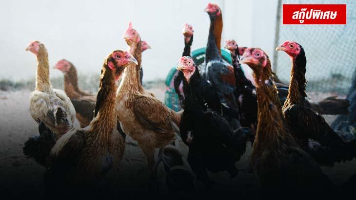 คนโบราณบอกเอาไว้ไก่สาวชุดแรกไข่แล้วควรทิ้ง จริงหรือไม่