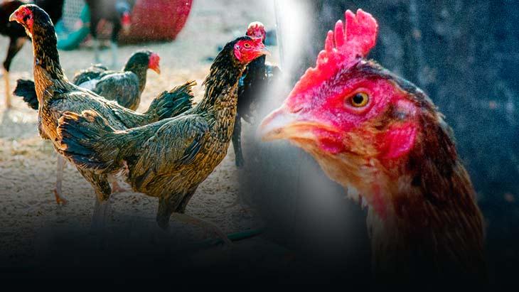 แม่ไก่สร้างเงินล้าน การเลือกแม่พันธ์ความลับของการพัฒนาสายพันธ์ ไก่ชน