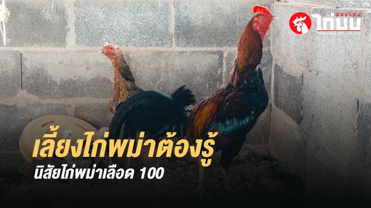 จะเลี้ยงไก่พม่าต้องรู้ นิสัยไก่ชนพม่าเลือดสูง หรือ ไก่พม่า 100%