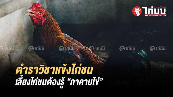 """เลี้ยงไก่ชนต้องรู้ ตำราวิชาแข้งไก่ชน """"กาคาบไข่"""""""