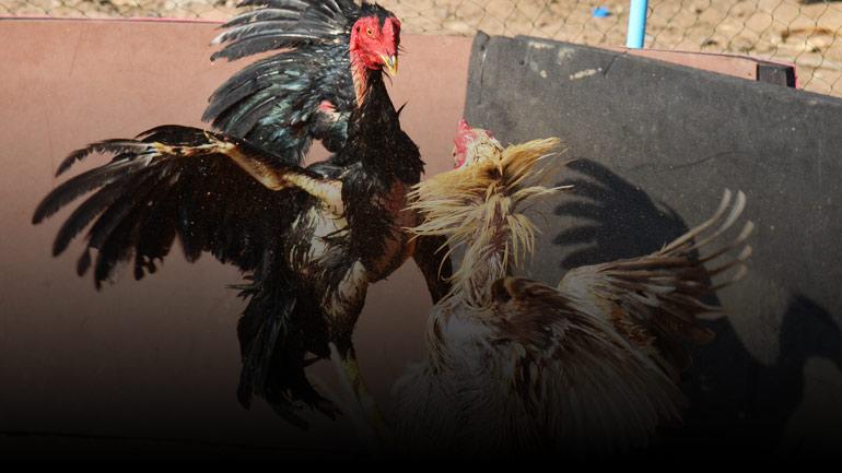 มือใหม่หัดเลี้ยงไก่ชน วิธีการเลี้ยงไก่อ่อนออกชนบ่อนใหญ่