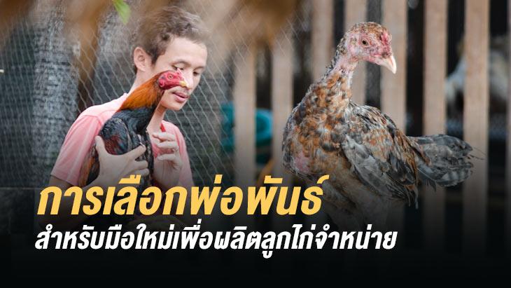 การคัดเลือกพ่อพันธ์ไก่ชน สำหรับมือใหม่เพื่อผลิตลูกไก่จำหน่าย