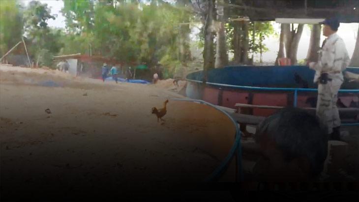 โพสต์สดโชว์ชนไก่ผ่านโซเชียล เจ้าหน้าที่ฝ่ายความมั่นคง มหาสารคาม สนธิกำลังจับกุมได้นักพนันชนไก่ได้กว่า 20 คน