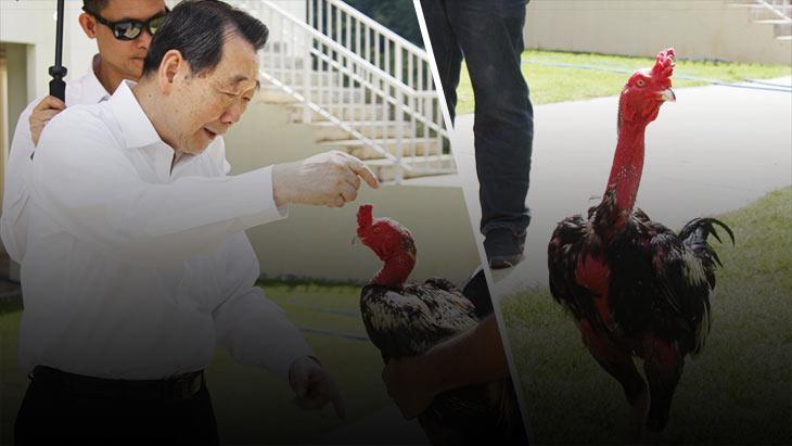 ไก่ชนปศุสัตว์แห่งเกมกีฬาไทย สร้างอาชีพ มีรายได้ ใช้เป็นอาหาร นำความสราญสู่ชนบท