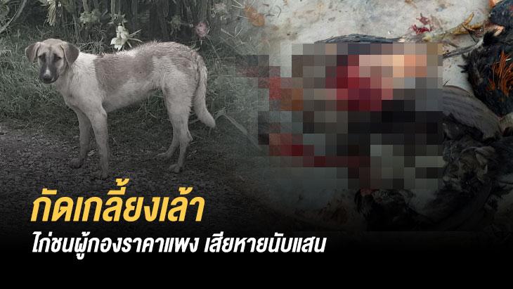 หมาโหดกัดไก่ชนผู้กองราคาแพงเกลี้ยงเล้า เสียหายนับแสน