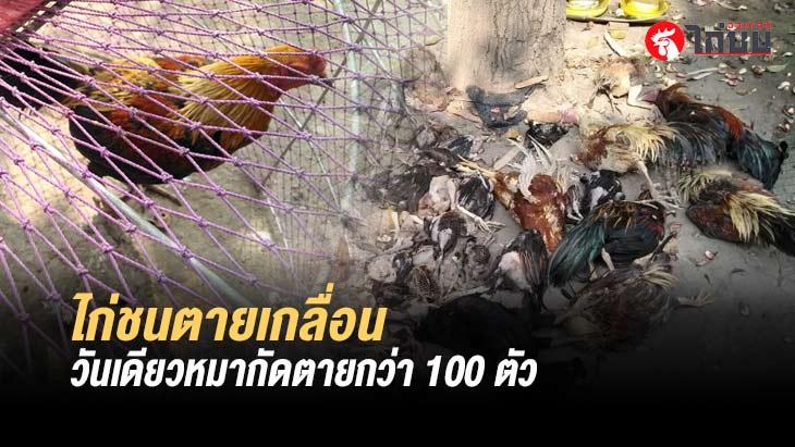 เจ้าของไก่ชนปราจีนสุดเศร้า โดนสุนัขขย้ำไก่ชนตายเกือบ 100 ตัว วอนเจ้าของหมารับผิดชอบ
