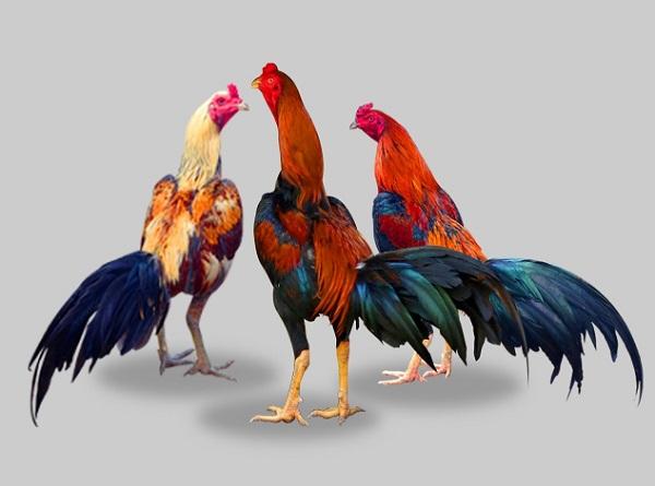 ไก่ชนยังไม่ได้คู่ชน ทำไม่เจ้าของไก่ถึงต้องเข้าปากไก่เอาไว้? มือใหม่หัดเลี้ยงไก่ชน